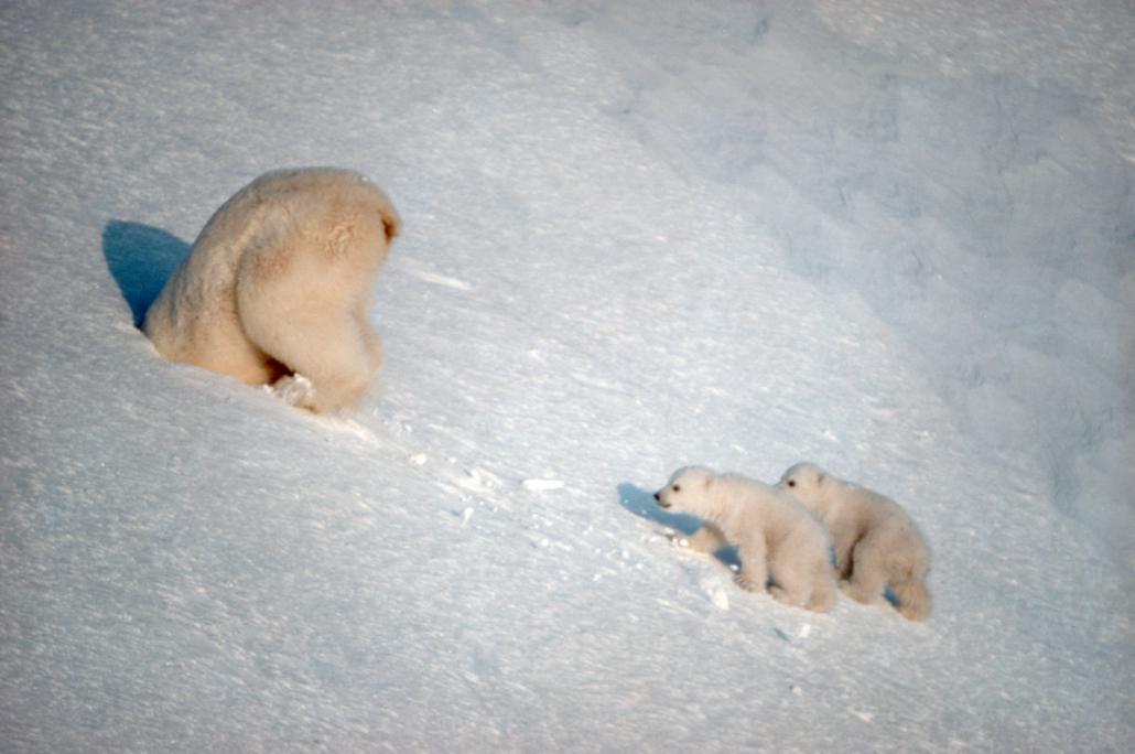 To isbjørner i sne, den ende på vei ned i et hi