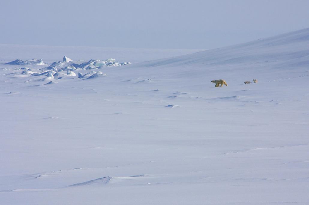 isbjørn i snølandskap