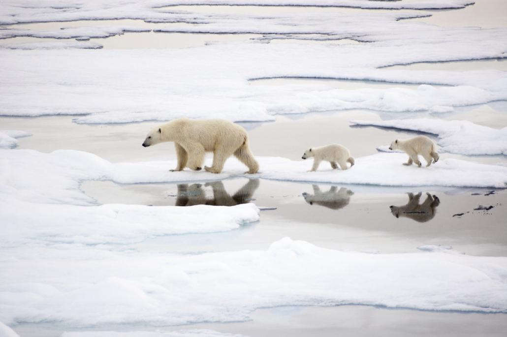 Isbjørnbinne med to unger på sjøisen.