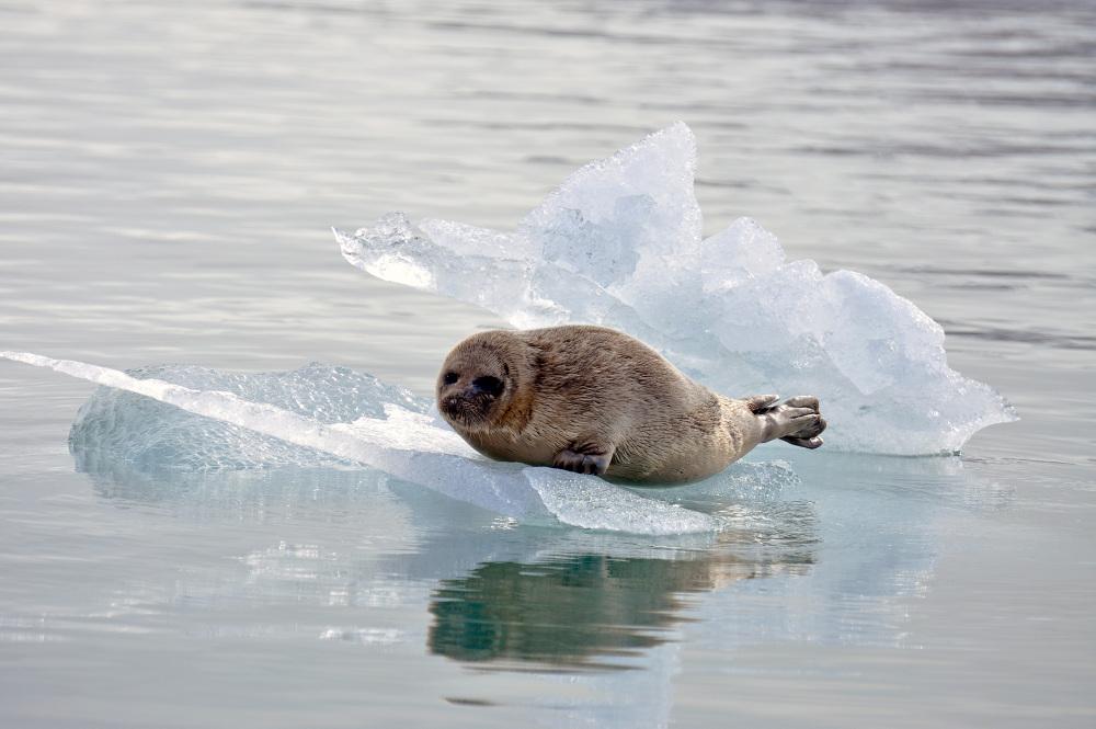 sel på is