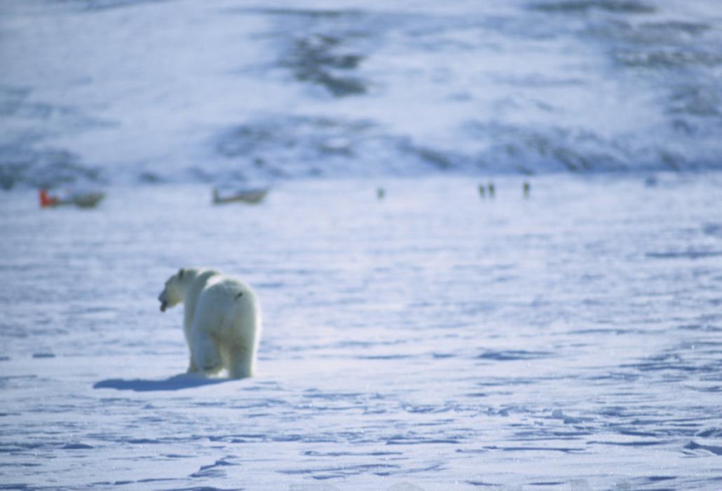 isbjørn vandrer mot en gruppe mennesjer