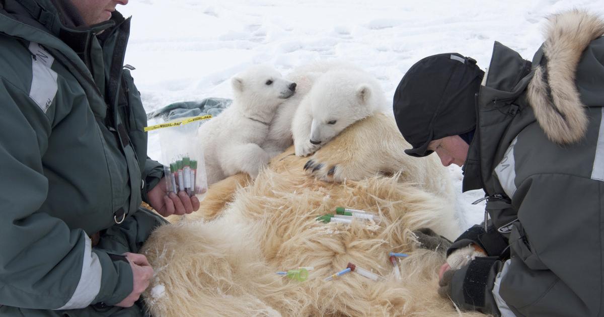 Kvinne tar prøver fra bedøvet isbjørn mens to isbjørnunger og en forskerkollega følger med