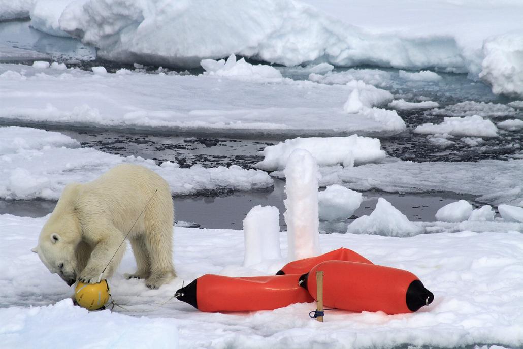 isbjørn undersøker instrument