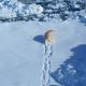 flyfoto av isbjørn som går på sne med fotsporene bak seg
