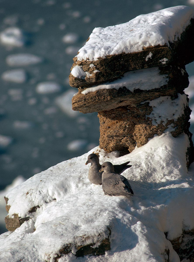 Havehestpar i snødekt klippe.