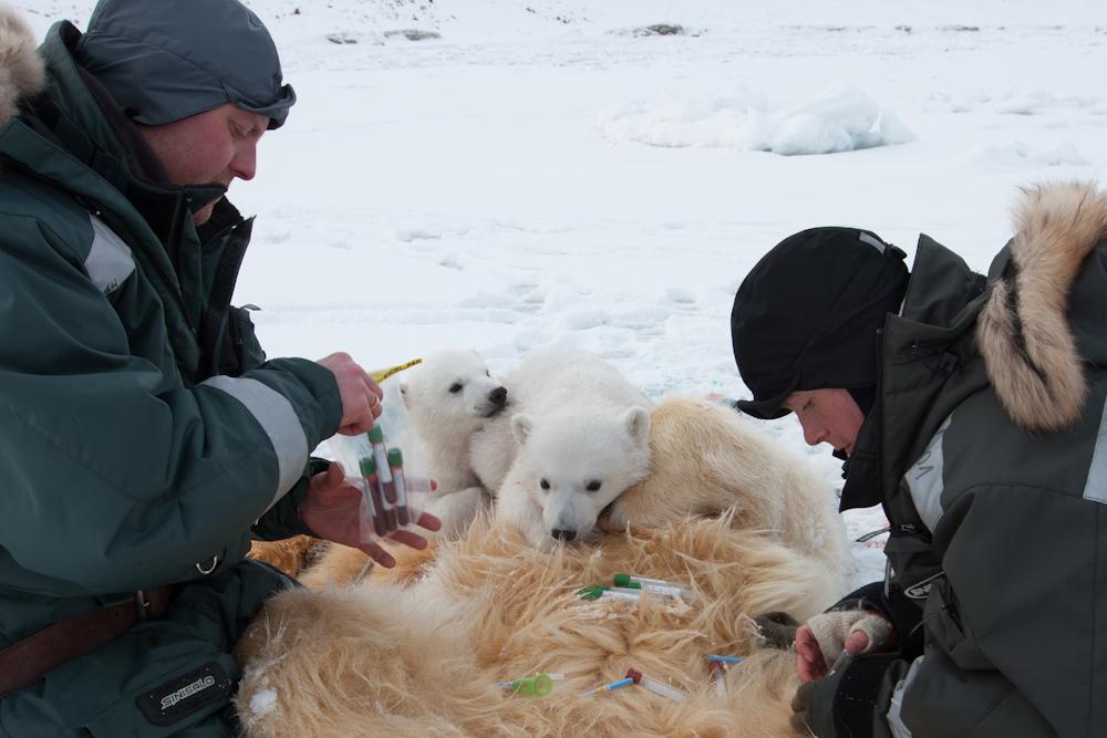 To forskere sitter ved en bedøvet isbjørnbinne og to isbjørnunger og tar vevsprøver fra binna