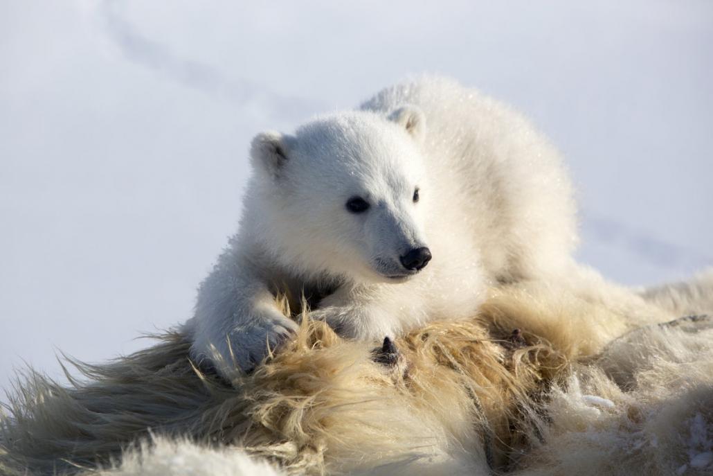 isbjørnunge