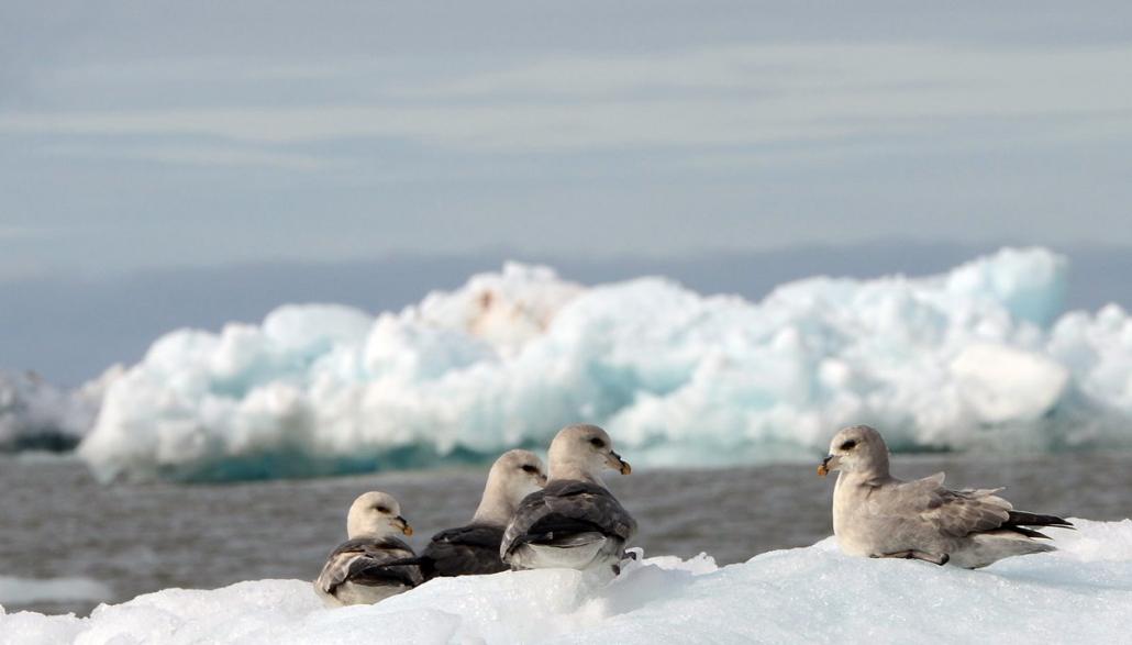 Flere havhester ligger samlet på isen