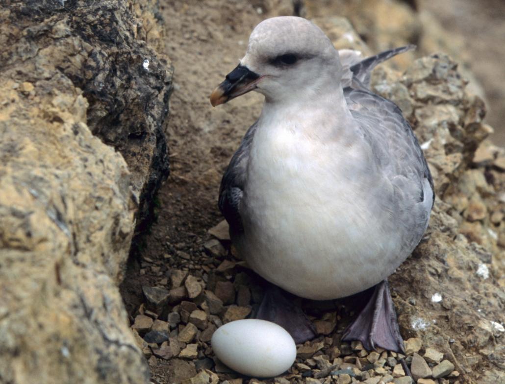 Havhest ligger på reir med egg
