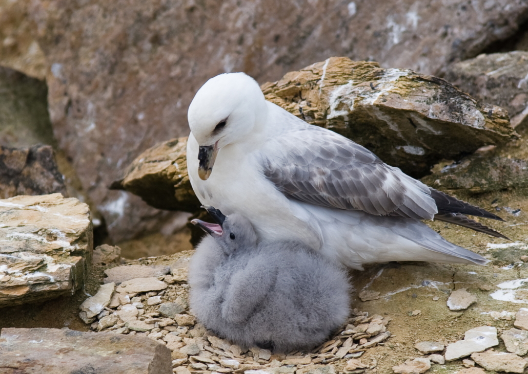 Havhest med fugleunge under buken. De står på steingrunn. Fugleungen åpner munnen for å få mat.