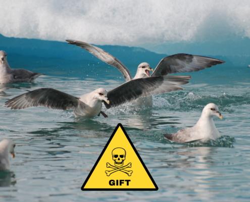 Flokk av havhest i vannet. Noen svømmer, andre har spredd ut vingene og ser ut til å skulle fly.