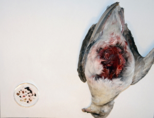 Død fugl ligge rpå hvit bakgrunn med buken åpnet. Noe innhold er tatt ut og ligger i en liten plastbeholder ved siden av.