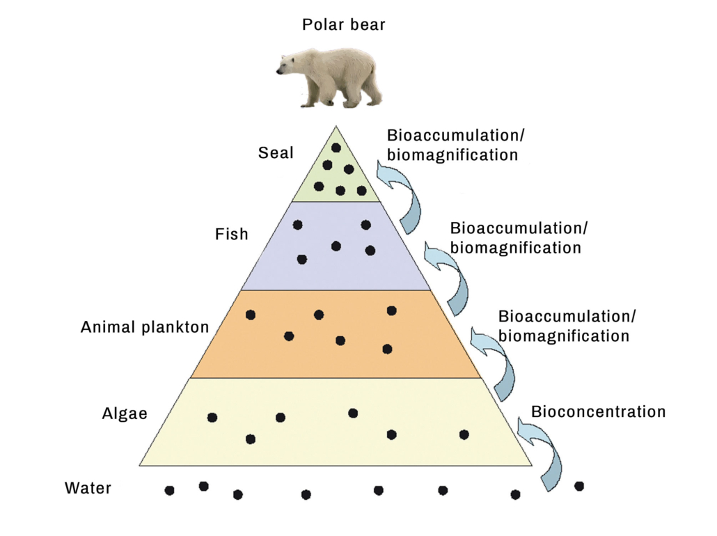 illustration of a pyramid food chain showing how the accumulation and concentration of a toxic chemical in the tissue of a polar bear during its food chain
