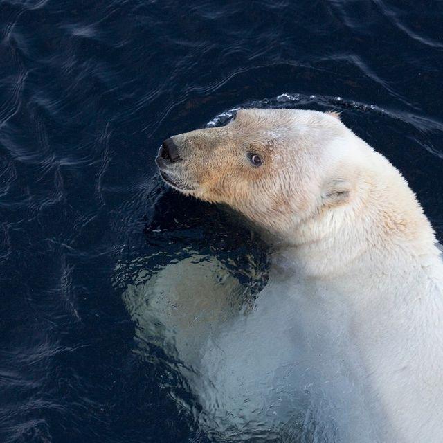 isbjørn scømmer i vann