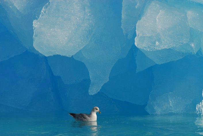 Havhest ved isfjell