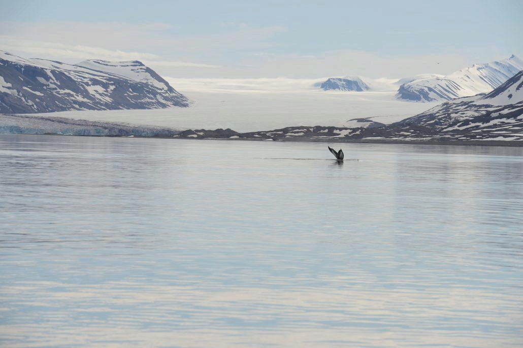 Knølhval i Kongsfjorden