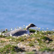 Pink-footed goose nesting