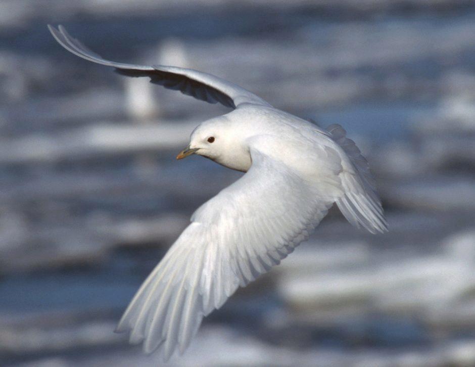 Ismåke med spredte vinger.