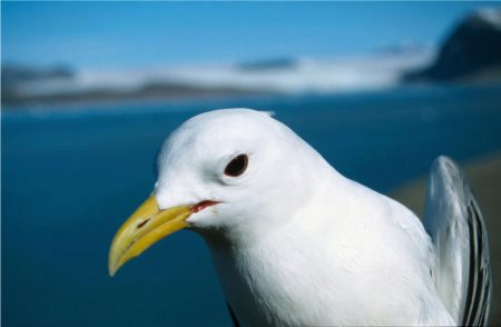 face of black-legged kittiwake