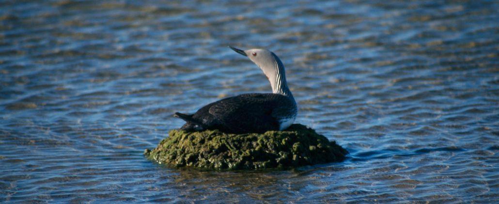 Fugl på stein i vann