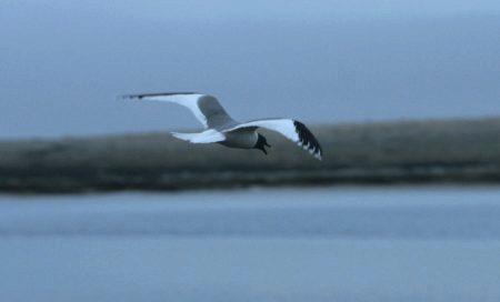 Flyvende sabinemåke
