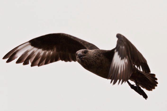 Flyvende storjo