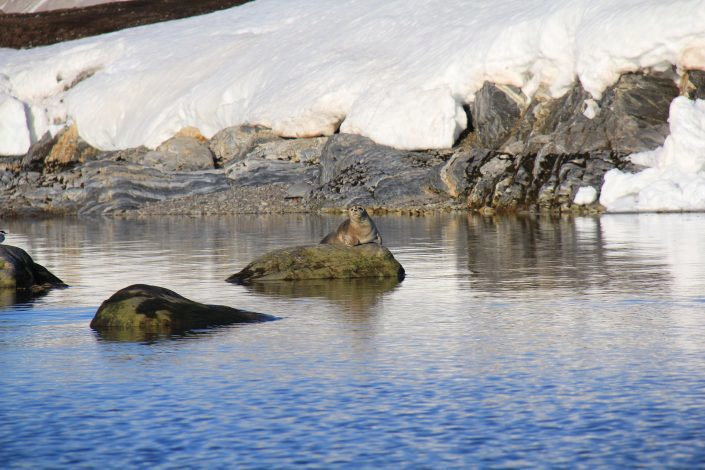 Harbour seal lying on a rock at Leirholmen