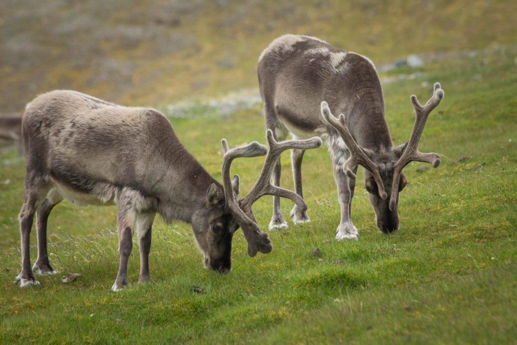 Svalbardrein som beiter