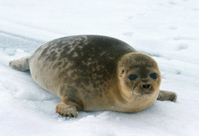 Ringed seal on ice