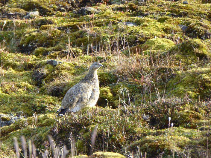 Svalbardrype på grønn slette