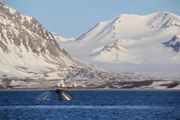 Blåhval i fjord