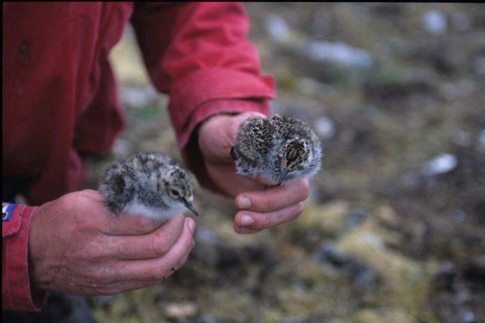 To fugleunger holdes av en person