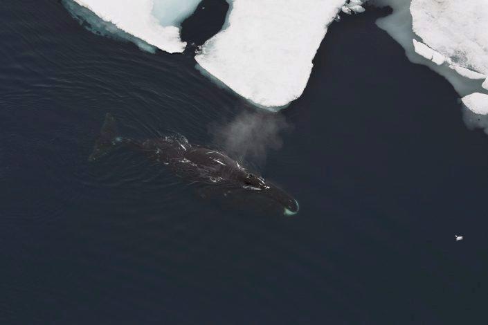 Grønlandshval i vannet ved isen