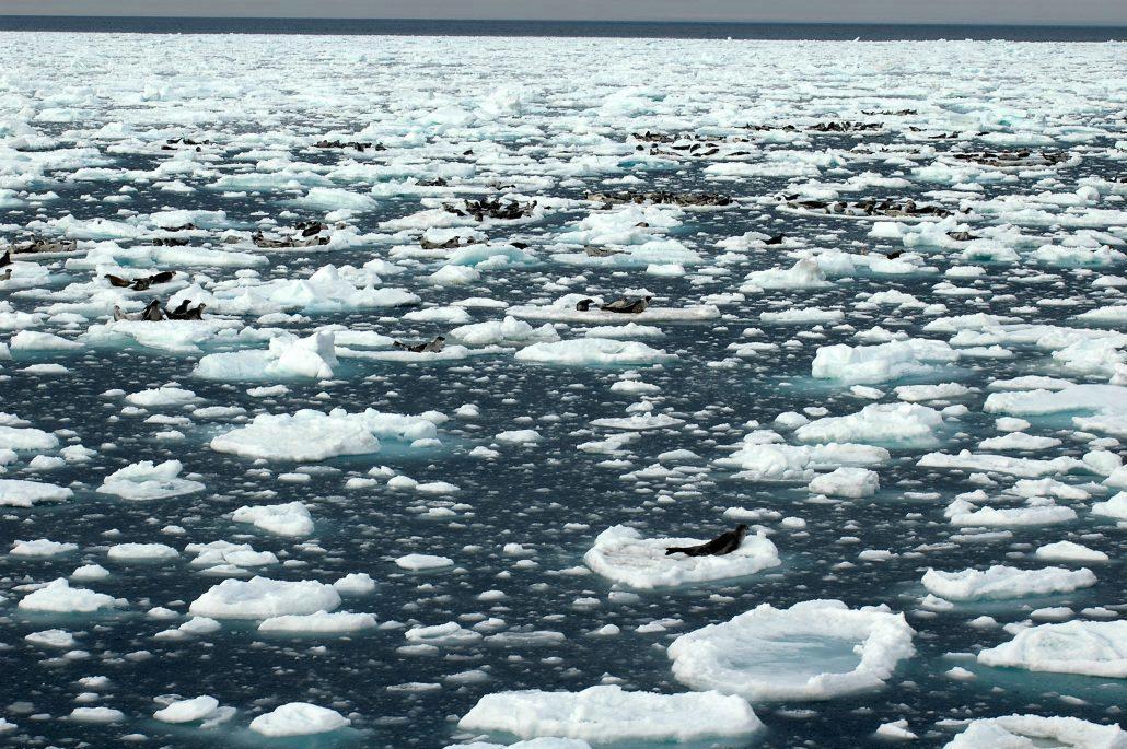 Flere sel på isflak