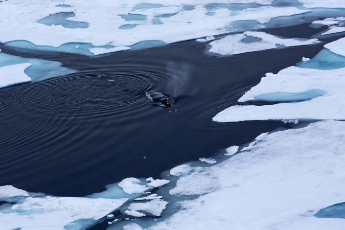 Grønlandshval