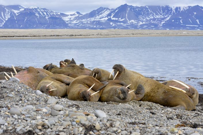 Several walruses on the beach