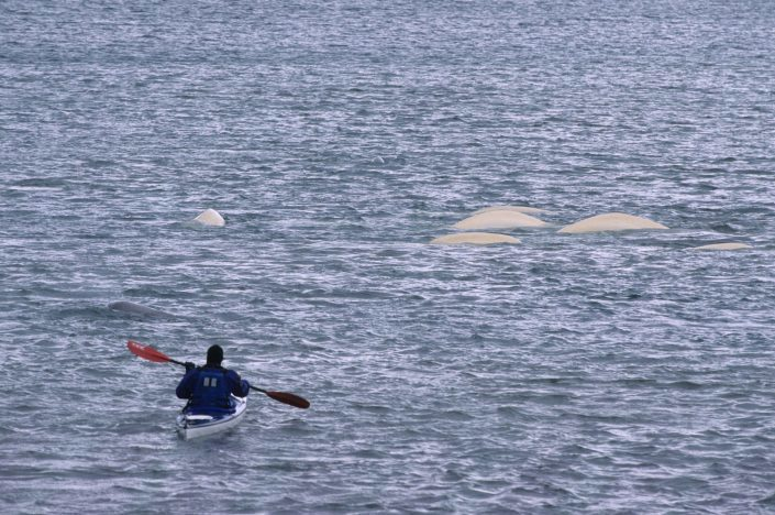 White whale in Adventsfjorden