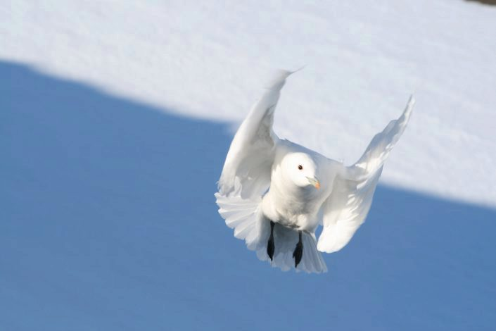 Ismåke med utspredte vinger