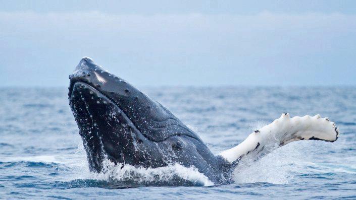 Knølhval som hopper