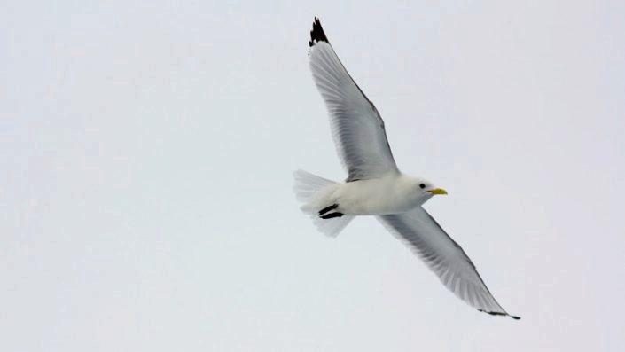 Flyvende krykkje
