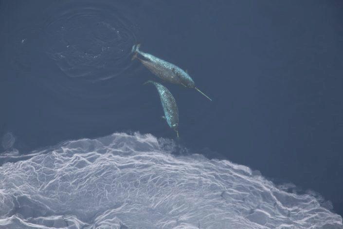 Narhval under vannskorpa