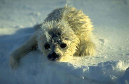 Newborn ringed seal