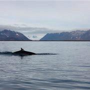 Hval i fjord